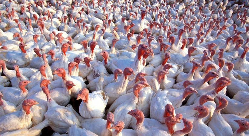 Средства индивидуальной защиты и птичий грипп - что нужно знать